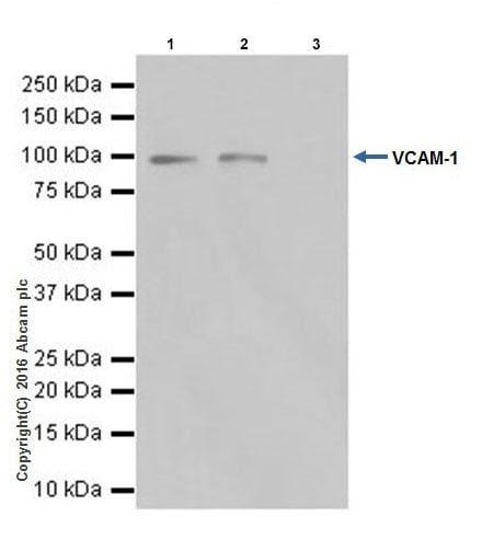 Immunoprecipitation - Anti-VCAM1 antibody [EPR17010-83] - BSA and Azide free (ab232458)