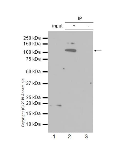 Immunoprecipitation - Anti-HIRA/HIR antibody [EPR7416] - BSA and Azide free (ab232477)