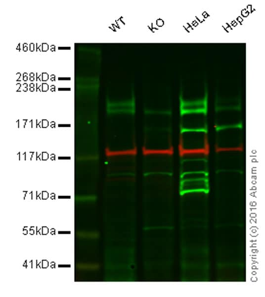 Western blot - Anti-LRP6 antibody [EPR2423(2)] - BSA and Azide free (ab232484)