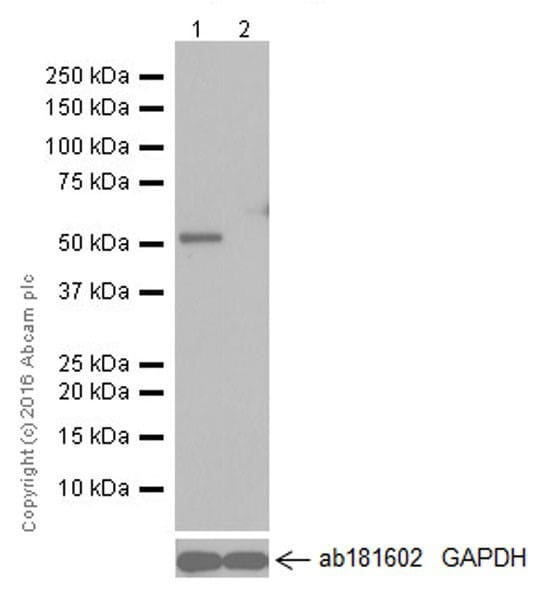 Western blot - Anti-GSDMD antibody [EPR19829] - BSA and Azide free (ab232485)