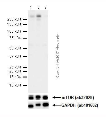 Western blot - Anti-mTOR (phospho S2481) antibody [EPR427(N)] - BSA and Azide free (ab232486)