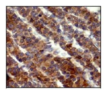 Immunohistochemistry (Formalin/PFA-fixed paraffin-embedded sections) - Anti-Flt3 ligand/Flt3L antibody [EP1140Y] - BSA and Azide free (ab232487)