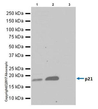 Immunoprecipitation - Anti-p21 antibody [EPR18021] - BSA and Azide free (ab232512)