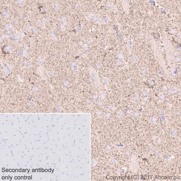 Immunohistochemistry (Formalin/PFA-fixed paraffin-embedded sections) - Anti-ABAT/GABA-T antibody [EPR4433] - BSA and Azide free (ab232525)