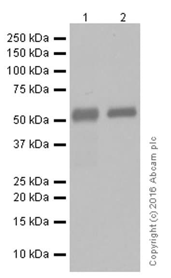 Western blot - Anti-IgG1 antibody [EPR4417] - BSA and Azide free (ab232544)