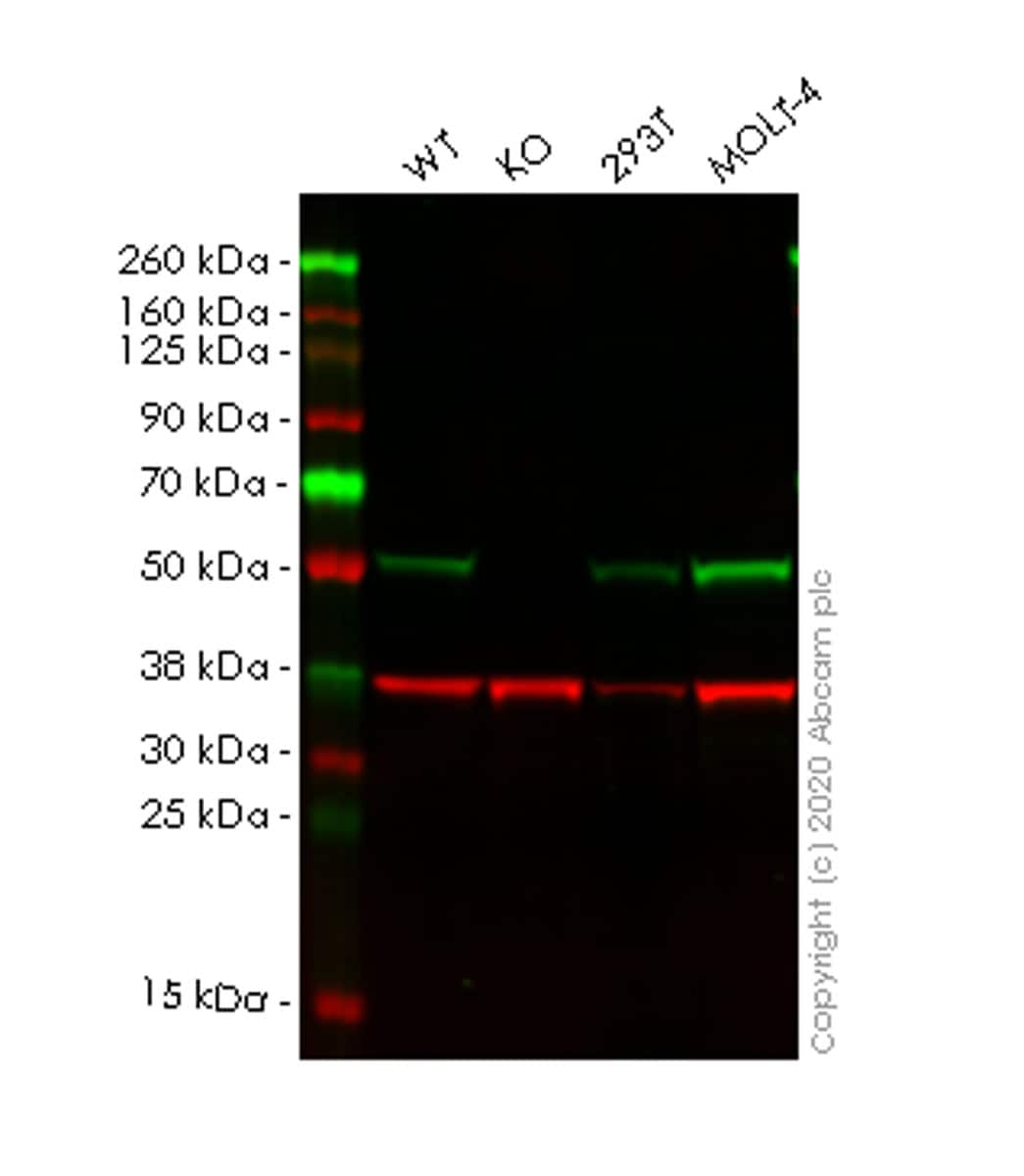 Western blot - Anti-TRIM21/SS-A antibody [EPR20290] - BSA and Azide free (ab232549)