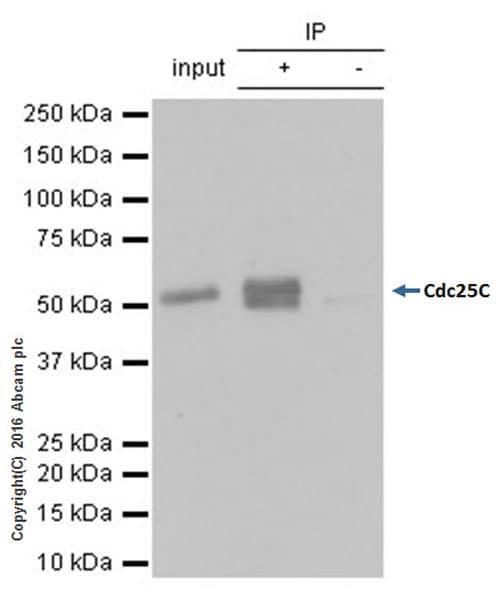 Immunoprecipitation - Anti-Cdc25C antibody [E302] - BSA and Azide free (ab232553)