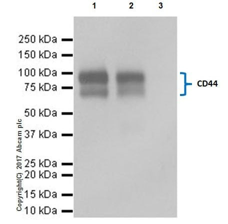 Immunoprecipitation - Anti-CD44 antibody [EPR18668] - BSA and Azide free (ab232556)
