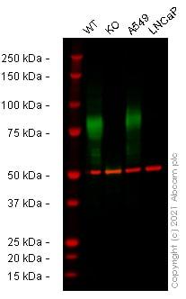 Western blot - Anti-CD44 antibody [EPR18668] - BSA and Azide free (ab232556)