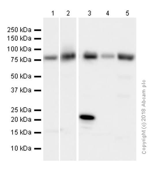 Western blot - Anti-Calpain 2 antibody [EPR5977] - BSA and Azide free (ab232559)