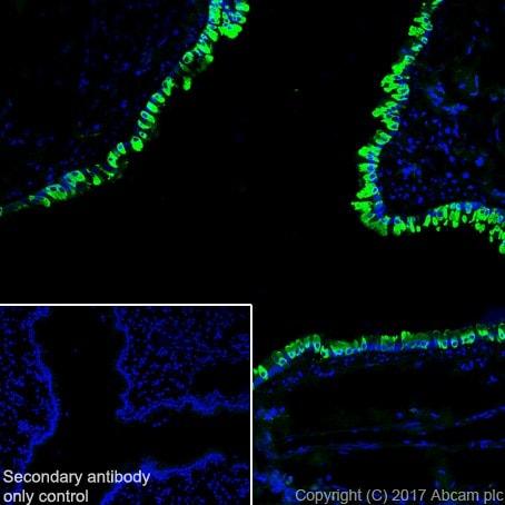 Immunohistochemistry (Frozen sections) - Anti-Uteroglobin antibody [EPR19846] - BSA and Azide free (ab232562)