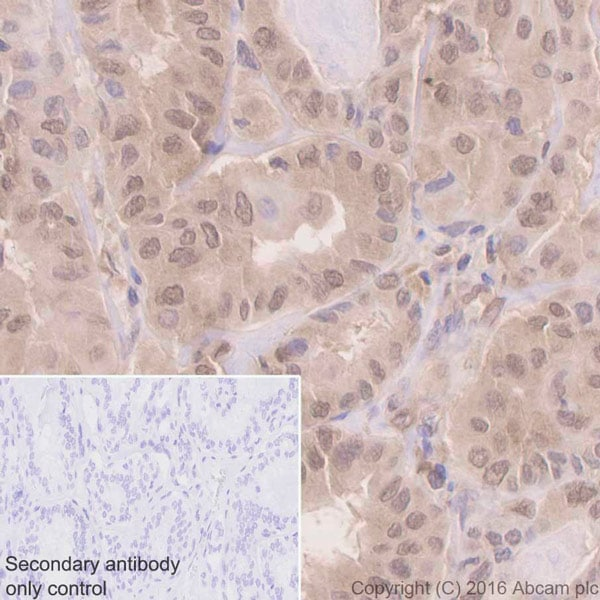 Immunohistochemistry (Formalin/PFA-fixed paraffin-embedded sections) - Anti-UFM1 antibody [EPR4264(2)] - BSA and Azide free (ab232570)
