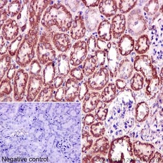 Immunohistochemistry (Formalin/PFA-fixed paraffin-embedded sections) - Anti-CLASP1 antibody [EPR3409] - BSA and Azide free (ab232576)