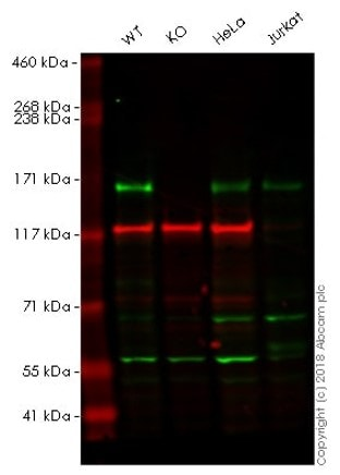 Western blot - Anti-CLASP1 antibody [EPR3409] - BSA and Azide free (ab232576)