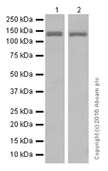 Western blot - Anti-POLG antibody [EPR7296] - BSA and Azide free (ab232583)