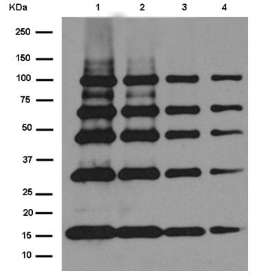 Western blot - Anti-Strep-tag II antibody [EPR12666] - BSA and Azide free (ab232586)