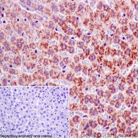 Immunohistochemistry (Formalin/PFA-fixed paraffin-embedded sections) - Anti-Ribophorin I antibody [EPR17043(B)] - BSA and Azide free (ab232599)