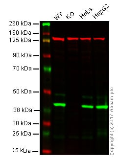 Western blot - Anti-mH2A1 antibody [EPR9359(2)] - BSA and Azide free (ab232602)