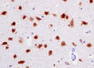 Immunohistochemistry (Formalin/PFA-fixed paraffin-embedded sections) - Anti-Nova1 antibody [EPR13847] - BSA and Azide free (ab232607)