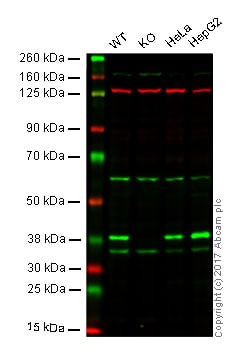 Western blot - Anti-POLDIP2 antibody [EPR13832] - BSA and Azide free (ab232609)