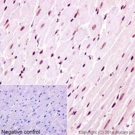Immunohistochemistry (Formalin/PFA-fixed paraffin-embedded sections) - Anti-CENPC antibody [EPR15939] - BSA and Azide free (ab232614)