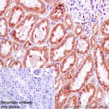 Immunohistochemistry (Formalin/PFA-fixed paraffin-embedded sections) - Anti-ATE1 antibody [EPR13667(2)] - BSA and Azide free (ab232619)