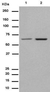 Western blot - Anti-JAML antibody [EPR15289] - BSA and Azide free (ab232632)
