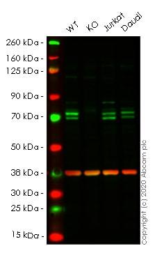 Western blot - Anti-ATG16L1 antibody [EPR15638] - BSA and Azide free (ab232636)