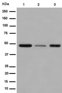 Western blot - Anti-NK-1R antibody [EPR6836(2)] - BSA and Azide free (ab232653)