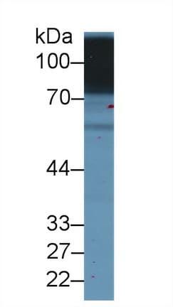 Western blot - Anti-CD98 antibody (ab232725)