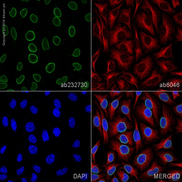 Immunocytochemistry/ Immunofluorescence - Anti-Lamin A + Lamin C antibody [WL4G10] (ab232730)