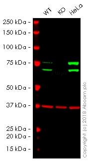 Western blot - Anti-Lamin A + Lamin C antibody [WL4G10] (ab232730)