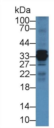 Western blot - Anti-Cathepsin S antibody (ab232740)