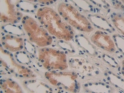Immunohistochemistry (Formalin/PFA-fixed paraffin-embedded sections) - Anti-GAL3ST1/Cerebroside sulfotransferase antibody (ab232758)