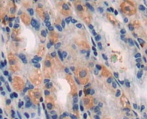 Immunohistochemistry (Formalin/PFA-fixed paraffin-embedded sections) - Anti-beta I Tubulin antibody (ab232770)