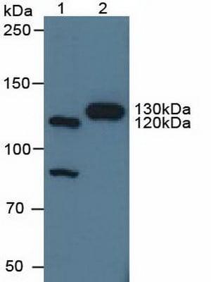 Western blot - Anti-BIG-2 antibody (ab232782)