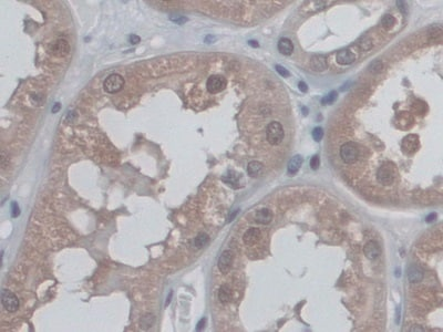 Immunohistochemistry (Formalin/PFA-fixed paraffin-embedded sections) - Anti-CD300C antibody (ab232789)