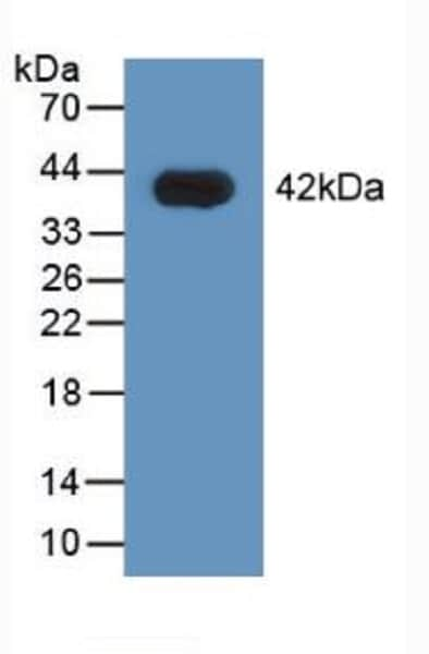Western blot - Anti-hnRNP A1 antibody (ab232824)