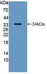Western blot - Anti-Kallikrein 8/KLK8 antibody (ab232839)
