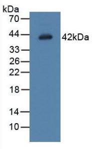 Western blot - Anti-Legumain antibody (ab232870)