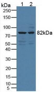 Western blot - Anti-DCAMKL1 antibody (ab232875)
