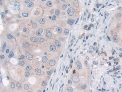 Immunohistochemistry (Formalin/PFA-fixed paraffin-embedded sections) - Anti-Nidogen 2/NID-2 antibody (ab232883)