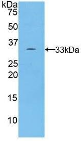 Western blot - Anti-Salusin alpha antibody (ab232904)