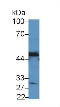Western blot - Anti-HPD antibody (ab232906)