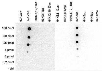 Dot Blot - Anti-Histone H2A.Z (acetyl K4 + K7 + K11) antibody (ab232908)