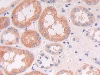 Immunohistochemistry (Formalin/PFA-fixed paraffin-embedded sections) - Anti-NCAM2 antibody (ab232923)