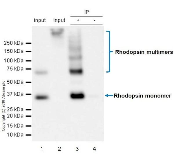 Immunoprecipitation - Anti-Rhodopsin antibody [EPR21876] - BSA and Azide free (ab232934)