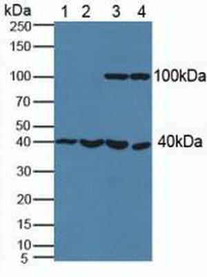Western blot - Anti-Phosphoserine Aminotransferase antibody (ab232944)