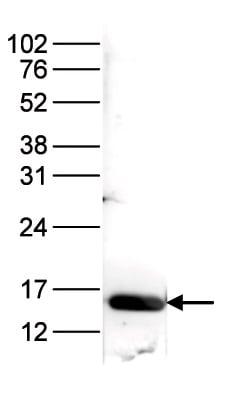 Western blot - Anti-Histone H3 (acetyl K9 + K14) antibody (ab232952)