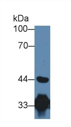 Western blot - Anti-HADH antibody (ab232969)